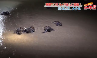 #14 ウミガメのふ化に密着