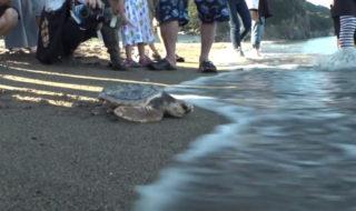 ウミガメ保護(高浜海岸)